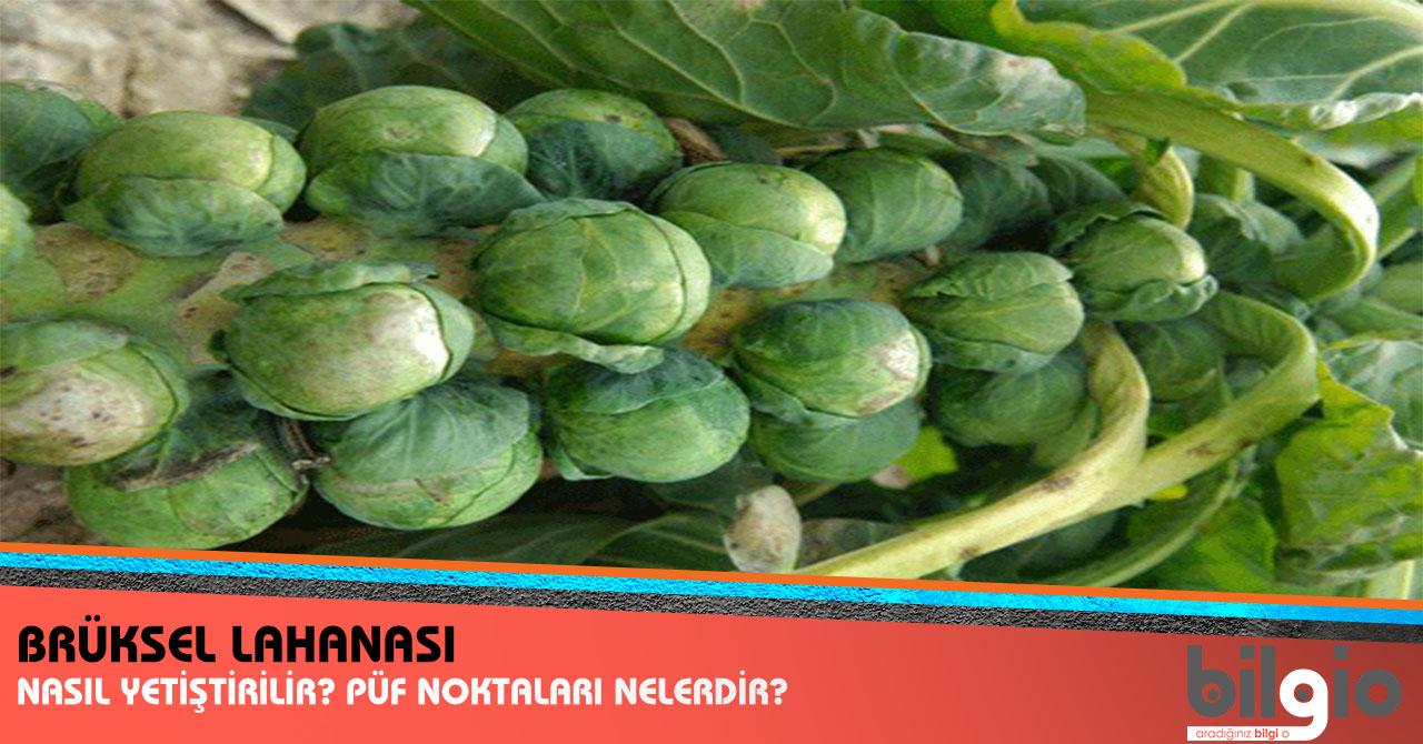 Brüksel lahanası: popüler bir sebze için büyüyen ve bakım